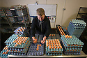 """25/03/16<br /> <br /> Zak Byra helps to grade the eggs into different sizes.<br /> <br /> Full story here:  <br /> <br /> http://www.fstoppress.com/articles/happy-hens/<br /> .<br /> FARMER Roger Hosking doesn't believe there is such a thing as a bad egg, especially when he's talking about youngsters who have already made some bad choices in life.<br /> <br /> So it seems particularly fitting that this Easter, traditionally a time to celebrate new beginnings, he will spend time with disadvantaged kids, counting and grading more than 20,000 eggs each day as part of his unique """"farm school"""" philosophy.<br /> <br />  <br />  <br /> <br /> All Rights Reserved: F Stop Press Ltd. +44(0)1335 418365   www.fstoppress.com."""