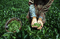 A woman holds tea leaves collected from a plantation nestled in the remote mountain valleys of northern Sichuan. Tea plantations are some of the projects being targeted by the EU-China Biodiversity Program to promote sustainable harvesting in the region.  Pingwu County in Sichuan Province, south-west China.