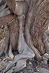 Ancient Juniper tree on the Saiq plateau. Oman