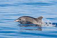 Rough-toothed Dolphin, Steno bredanensis, surfacing, Costa Rica, Pacific Ocean This species can be identified by it's sloping forehead & white 'lips'.