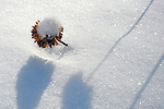 A Snow Covered Bee Balm Flower Reaching up through a Deep Blanket of Snow