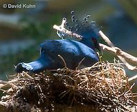 0205-1101  Nesting Western Crowned Pigeon, Goura cristata  © David Kuhn/Dwight Kuhn Photography