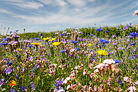 Wild flower mix, farm margin - Lincolnshire, July