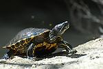Turtles, CA