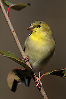 American Goldfinch (Spinus tristis) in winter plumage.