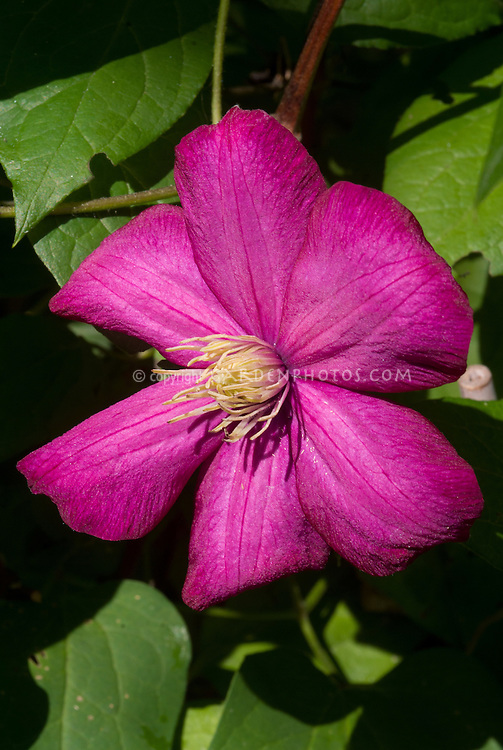 Clematis Ville de Lyon, perennial summer blooming large flowered climbing vine in rich pink bloom color