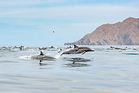 Common dolphins (delphinus delphis) Gulf of California.A group of common dolphin., Baja California, Mexico, Pacific Ocean