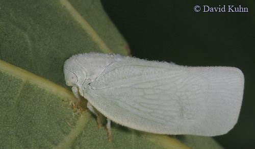 0829-06xx  Flatid planthoppers - Anormenis chloris - © David Kuhn/Dwight Kuhn Photography