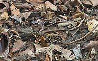 I finally had a chance to see the well-camouflaged Common pauraque during the day.