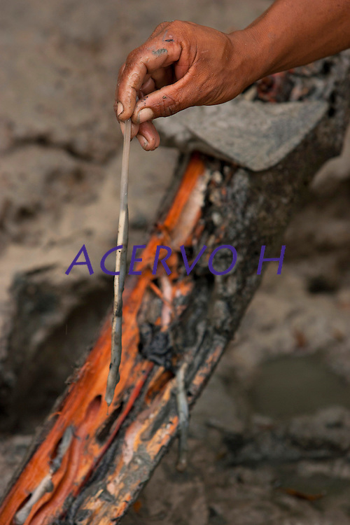 Turu - Molusco que habita troncos podres do mangue, também conhecido como bicho-de-pau, é semelhante a uma grande lombriga leitosa, alguns têm a espessura de um dedo e o comprimento de três palmos. Rico em cálcio e proteína existe a crença nas suas propriedades afrodisíacas. Também encontrado na área do mangue da praia de Paxicú na Reserva Extrativista Marinha Mãe Grande localizada no litoral do Pará, na foz do rio Amazonas,  pescadores artesanais  enfrentam o período de pesca fraca adentrando o mangue para capturar o molusco.<br /> Curuça, Pará, Brasil.<br /> Foto: Paulo Santos<br /> 18/02/2010