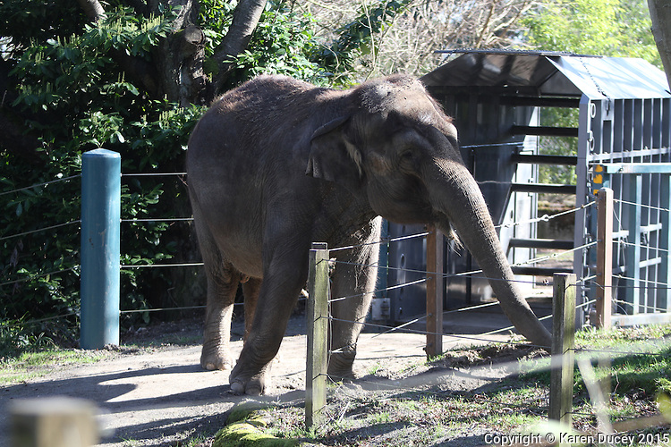 Woodland Park Zoo officials announced at a press conference Friday that 48-year-old Bamboo and 36-year-old Chai will be moved to the Oklahoma City Zoo in late March to mid-April. (photo © Karen Ducey Photography)