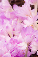 Colchicum Waterlily (AGM) autumn flowering bulb in fall bloom
