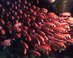 Large School of Squirrelfish in Saba on shipwreck, almost look like humas with 3D glasses in a movie theater.