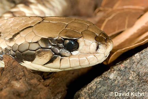 0504-1106  False Water Cobra (Rear-fanged), Detail of Head, Brazil, Hydrodynastes gigas  © David Kuhn/Dwight Kuhn Photography