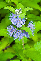 Caryopteris 'Hint of Gold' in blue flowers in late summer/early autumn bloom