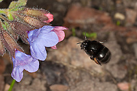Gemeine Pelzbiene, Pelz-Biene, Frühlings-Pelzbiene, Frühlingspelzbiene, Anthophora acervorum, Anthophora plumipes, im Flug, Anflug an Blüte, Blütenbesuch an Lungenkraut, Nektarsuche, Bestäubung, common Central European flower bee