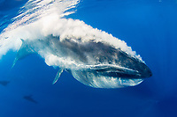 Bryde's whale, Balaenoptera edeni, expeling air and water from mouth through baleen plates after engulfing part of a baitball of sardines, pilchards, or Californian pilchards, Sardinops sagax caeruleus, Golden Gate Bank, Cabo San Lucas, Baja California, Mexico, Pacific Ocean