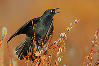 Displaying adult male Rusty Blackbird (Euphagus carolinus). Seward Peninsula, Alaska. May.