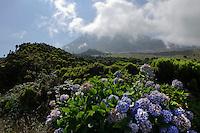 Hortensie (Hydrangea) vor Pico Alto auf der Insel Pico, Azoren, Portugal