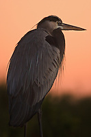 Dawn and dusk are active times for the Great Blue Heron (Ardea herodias), a most adaptable creature found throughout most of North America.