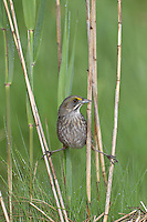 Seaside Sparrow (Ammodramus maritimus maritimus), Atlantic subspecies, adult in perfect plumage peering out of the reeds in a marsh at the Oceanside Marine Nature Study Area in Oceanside, New York.