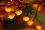 Heavenly Bamboo berries in fall.  Nandina domestica, foliage, berry , fall color in yard.
