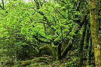Viel érable de Montpellier (Acer monspessulanum L.), Réserve naturelle nationale de la forêt de la Massane