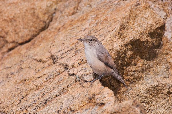 Rock Wren, Salpinctes obsoletus, adult, Rocky Mountain National Park, Colorado, USA