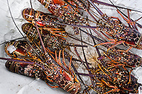Fresh lobsters on ice are seen at Mercado de Mariscos seafood and fish market in Panama City, Panama, 1 February 2015.