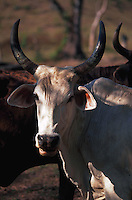 Long-horned cattle in Honduras, Central America