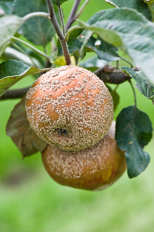 Brown rot on Apple 'Coronation', early September.