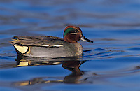 Common Teal, Anus crecca, male, Unterlunkhofen, Switzerland, Europe