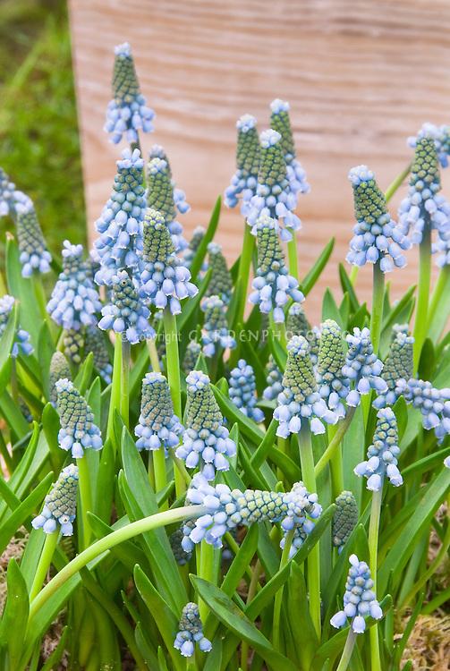 Grape Hyacinths Muscari aucheri 'Blue Magic'