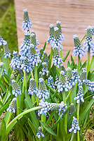 Grape Hyacinths Muscari aucheri 'Blue Magic'