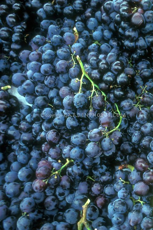 Fredonia Grapes (Vitis) black seedless grape variety many picked fruits harvested, Vitis riparia X x Vitus labrusca.
