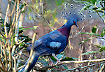 Victoria crowned pigeon, native to Northern New Guinea.