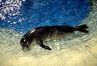 Endangered and rare, Hawaiian monk seal pup at Sea Life Park, Oahu