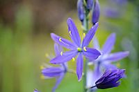 Camassia leichtlinii subsp.suksdorfii 'Lady Eve Price'