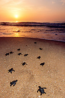 Kemp's ridley sea turtle hatchlings, Lepidochelys kempii, crawl toward ocean when released after emerging from nests in protected corral, Rancho Nuevo, Mexico, Gulf of Mexico, Caribbean Sea, Atlantic Ocean