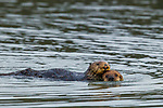 Sea Otter (Enhydra lutris) mother dragging pup, Elkhorn Slough, Monterey Bay, California