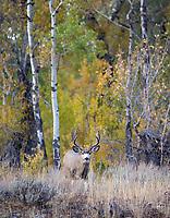 We found this nice mule deer buck in the Grand Tetons.