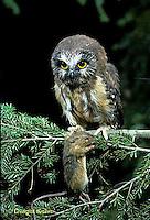 OW03-031z   Saw-whet owl - immature owl with jumping mouse prey - Aegolius acadicus