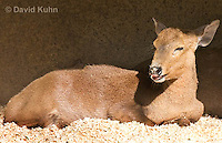 0524-1103  Calamian Deer (Hog Deer), Hyelaphus calamianensis  © David Kuhn/Dwight Kuhn Photography