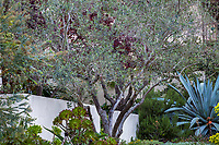 Olea europaea 'Fruitless' (Wilson Fruitless Olive) Gray foliage olive tree; McAvoy Garden - California summer-dry garden; Ground Studio Landscape Architecture