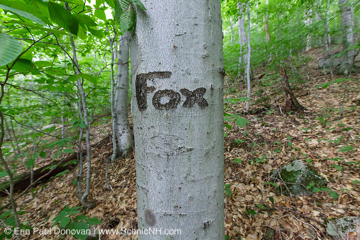 The word Fox carved into a beech tree along the old Osseo Trail in Lincoln, New Hampshire. Cut in the early 1900s, this portion of the Osseo Trail began near the East Branch & Lincoln Railroad's logging Camp 3. It traveled up through the Clear Brook drainage to Osseo Peak and Mount Flume. During the early years of the trail, it was part of the Franconia Ridge Trail. In the 1980s when the Clearbrook Condominium development was built this portion of the Osseo Trail was abandoned and rerouted to its current location.