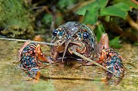 414490009 a wild pocambarus species of crayfish sits in a small pond on a ranch in south texas