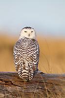 Snowy Owl (Bubo scandiacus) perched on a log. Grays Harbor County, Washington. December.