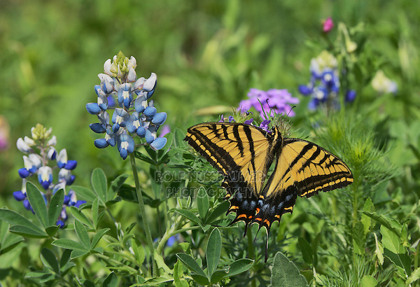 Two-Tailed Swallowtail (Papilio multicaudata), adult perched on Texas Bluebonnet (Lupinus texensis), Texas, USA
