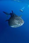 Whalesharks, Indonesia