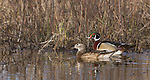 Pair of wood ducks swimming in northern Wisconsin.
